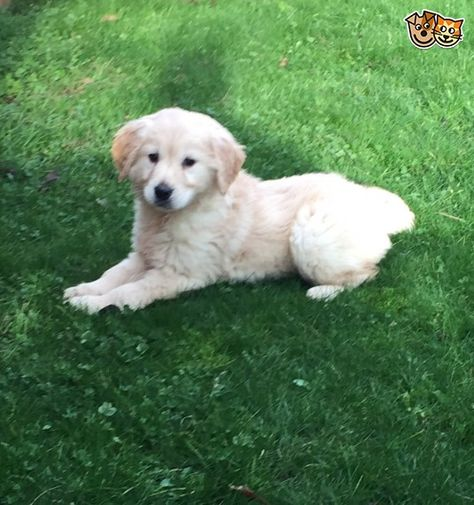 White Retriver Puppies 1st Vacc Given Puppies White Retriever Pets