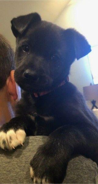 Great Dane And German Shepherd Dog Mixed Dog For Adoption In Louisville Kentucky Emily In Louisville Kentucky En 2020