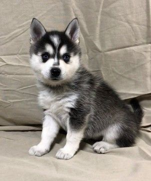 Alaskan Klee Kai Puppy For Sale In Aumsville Or Adn 57453 On