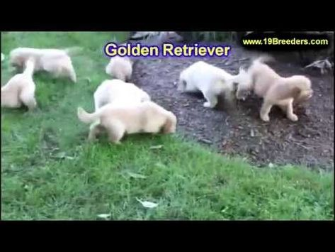 Labrador Retriever Puppies Huntsville Al Golden Retriever Puppies
