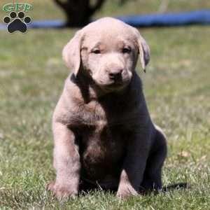 Silver Labrador Retriever Puppy In Narvon Pa Via Kaufmannspuppy Labradorretriever Labrador Retriever Puppies Labrador Retriever Silver Labrador Retriever