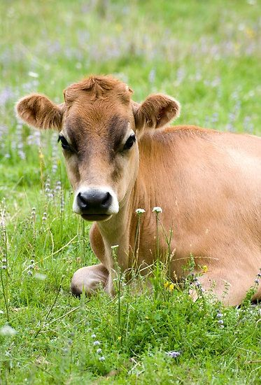 Jersey cow, my Mama's favorite