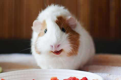 Ginger the Smiling Guinea Pig