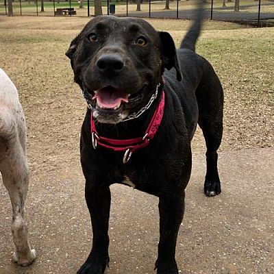 Houston Tx Labrador Retriever Meet Lady Bird A Dog For