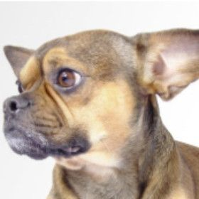 French Pin Dog This Dog Is A Crossbreed Between French Bulldog And
