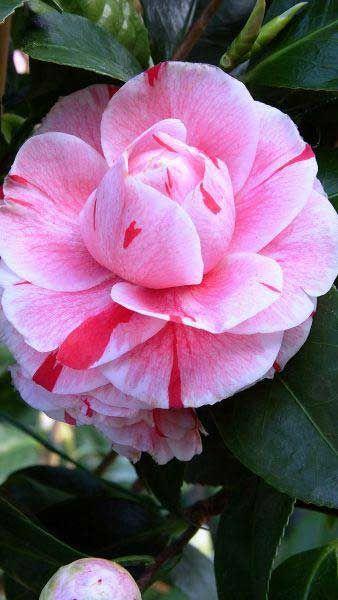 Camellia Japonica Comte De Gomer Beautiful Pink Flowers Beautiful Flowers Pink Plant