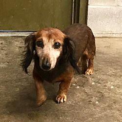 Pin By Dawn Z On Adopt Dachshund Adoption Pet Adoption Dachshund Dog