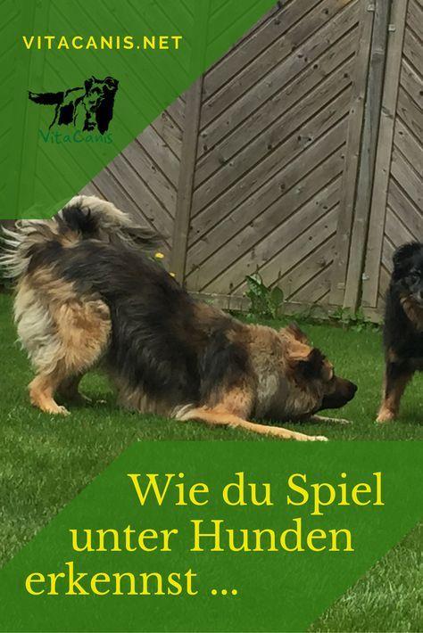 Wie Du Spiel Unter Hunden Erkennst Vitacanis Hunde Kokosnussol Fur Hunde Hunde Erziehen