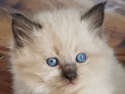 Ragdoll Cross Kitten Cats Kittens Gumtree Australia Brisbane North East Nudgee 1233074202 Ragdoll Cat Cats Ragdoll
