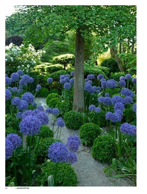 Entre les buis boules et les fleurs rondes d'agapanthe, on peut dire que le propriétaire de ce jardin aime la rondeur!