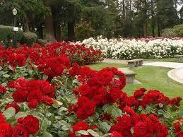 Gambar Bunga Mawar Merah Terindah Taman Bunga Mawar Terindah Di Dunia Penelusuran Google Things I Bunga Mawar Wallpaper Hidup 1 5 Bunga Mawar Menanam Bunga