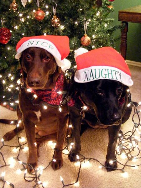 Naughty Nice Dog Christmas Pictures Christmas Animals Funny