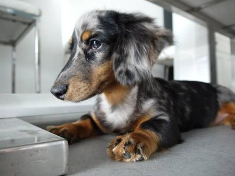 Long Haired Silver Dapple Miniature Dachshund Such A Pretty Pup