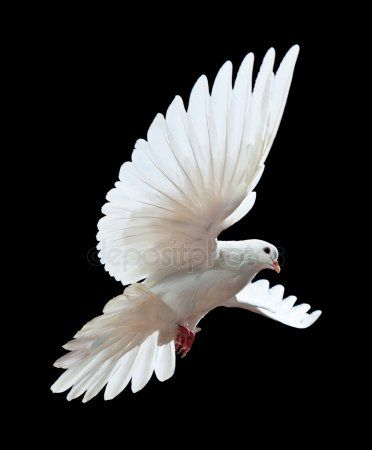 A Free Flying White Dove Isolated On A Black Stock Image Dove Pictures Bird Drawings White Doves