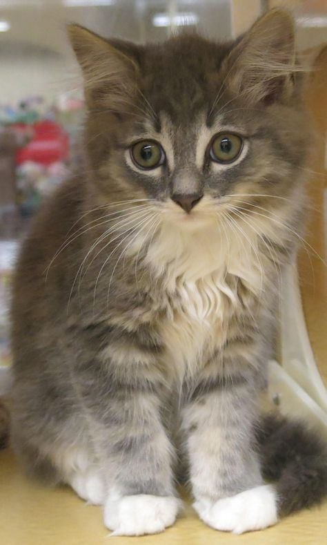 Adopt Bonsai On Petfinder Tabby Cat Long Haired Cats Humane Society