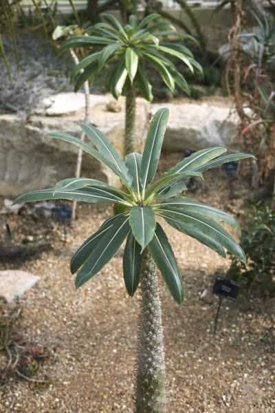 Madagascar Palm Pruning Tips How Much Can You Prune Madagascar