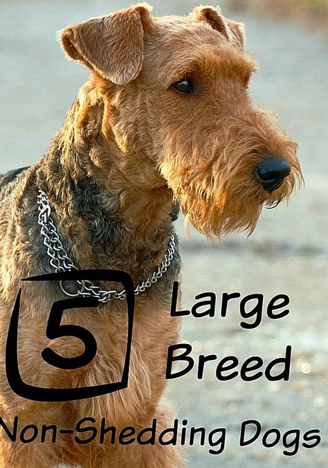 Looking For The Best Large Dog Breeds That Dont Shed Check Out Our Top Favorites And Bring Hom In 2020 Dog Breeds That Dont Shed Best Large Dog Breeds Large Dog Breeds