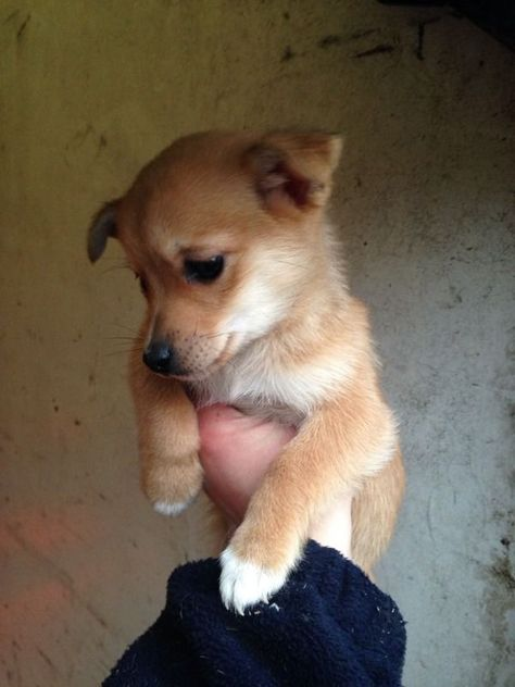 Gorgeous Jack Russell X Pomeranian Pups Glasgow Gumtree Pomeranian Puppy Dogs Dogs For Sale