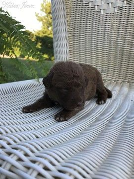 Chesapeake Bay Retriever Puppy For Sale In Tuscaloosa Al Usa