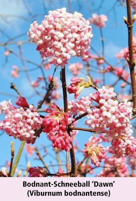 Mein Schoner Garten Bienenfreundliche Hecke Im Set 5 Pflanzen Winterschneeball Pflanzen Bepflanzung
