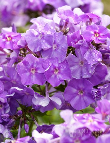 Blue Boy Garden Phlox Blooms From July Till Frost Tall Phlox