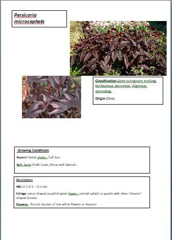Persicaria Microcephala Red Dragon In 2020 Red Dragon Plants Red