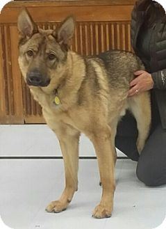 Cornwall On German Shepherd Dog Meet Chevy A Dog For Adoption