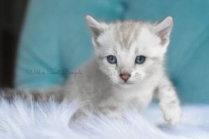 Bengal Kittens Cats For Sale Near Me Wild Sweet Bengals In