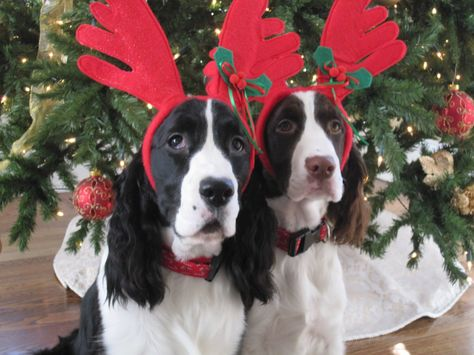 Springer Spaniels Hope And Rosey Christmas Animals Christmas Dog Springer Spaniel