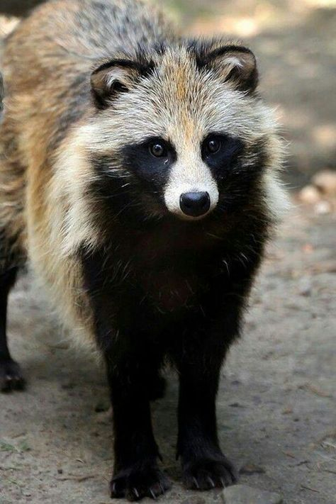 Raccoon dog /  Nyctereutes procyonoides, is indigenous to East Asia. It is…