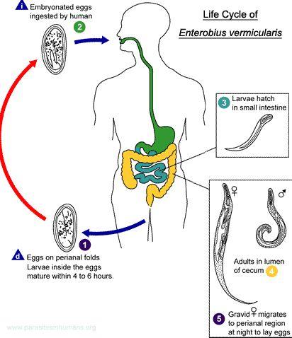 A pinworms átvitele, Gyermekek enterobiasisának jelei