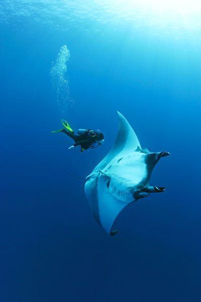 Mantas Diving Komodo National Park Flores Island Indoneseia