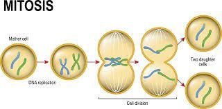 En Biologia La Mitosis Es Un Proceso Que Ocurre En El Nucleo De Las Celulas Eucariotas Y Que Precede Inmediatamente A La Divisi Ciclo Celular Mitosis Biologia