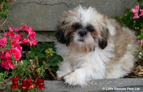 Stunning Pure Shih Tzu Pups Pedigree Puppies For Sale Puppies