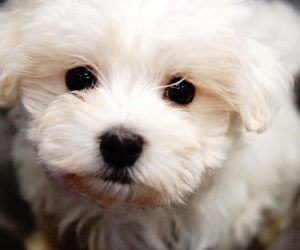 Puppies For Sale Visit Forever Love Puppies Pembroke Pines