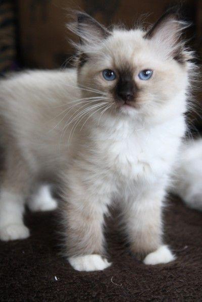 Pin By Teri Hunt On Cuteness Ragdoll Kitten Kittens Cutest Ragdoll Cat