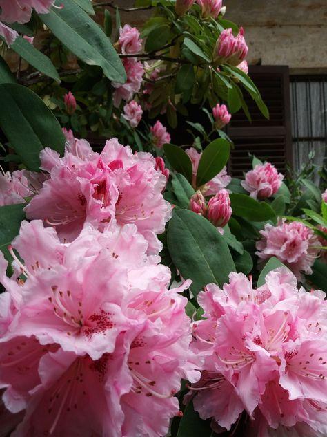 Gorgeous Pink Rhododendron Tuin Planten
