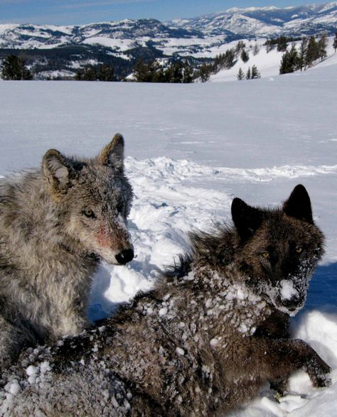A beautiful pair of wolves!