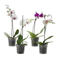 Phalaenopsis Potted Plant Orchid Ikea Orchids Plants Orchid Plants