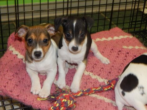 Rat Terrier Puppy For Sale In Hammond In Usa Adn 60536 On