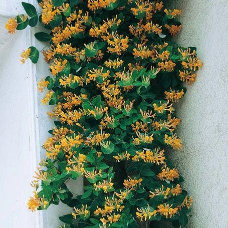 Schöne Kletterpflanzen kletterpflanze winterhart cyberbase co