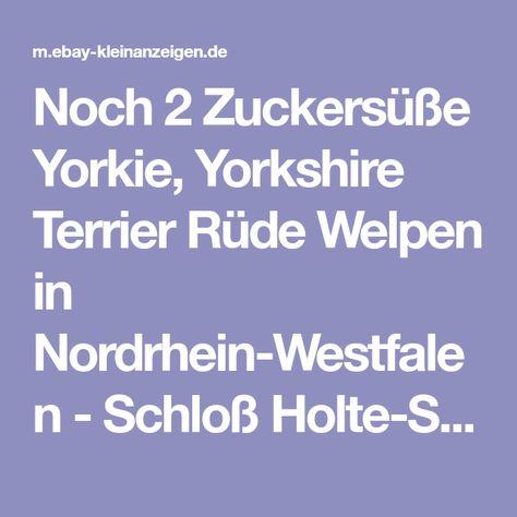 Noch 2 Zuckersusse Yorkie Yorkshire Terrier Rude Welpen In Nordrhein Westfalen Schloss Holte Stukenbrock Terrier Und Terr Yorkshire Terrier Yorkie Yorkshire