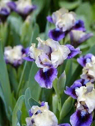 How To Grow Bearded Iris For A Garden Full Of Color Bearded Iris Iris Flowers Easy To Grow Flowers