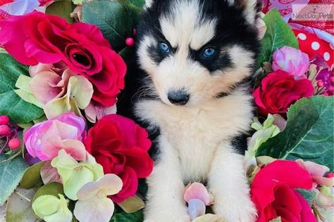 Siberian Husky Puppy For Sale Near Oklahoma City Oklahoma