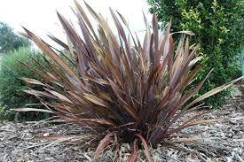 Phormium Tom Thumb Google Search Plants Ornamental Grasses Plant Nursery