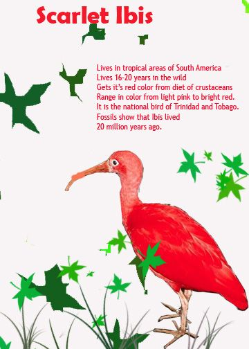4 The Title Of The Story Is The Scarlet Ibis This Is A Painting