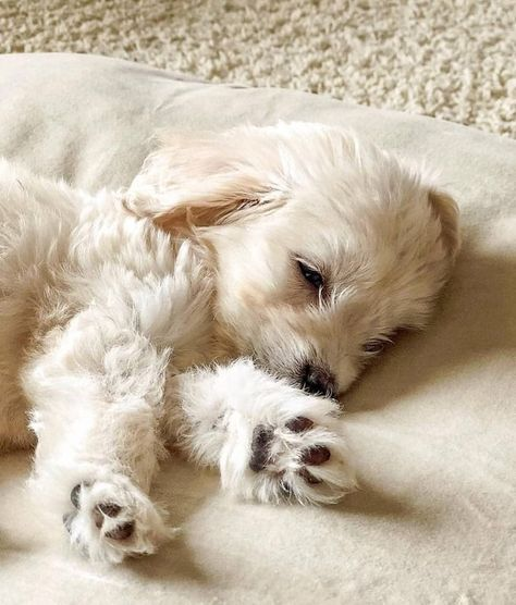 last stretch 'til the weekend - hang in there 💕 📸 via Super Cute Puppies, Cute Dogs And Puppies, Doggies, Cute Baby Animals, Animals And Pets, Funny Animals, Poodles, Cute Dogs Breeds, Cute Animal Pictures