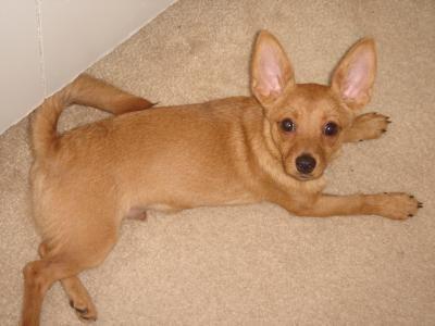 Dachshund Pomeranian Mix Photos Thriftyfun Chihuahua Kaufen Oder Inserieren Bei Deinetierwelt Jack Russell Chihuahua Mix Could In 2020 Weiner Dog Dog Mixes Chihuahua