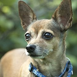 Chicago Illinois Chihuahua Meet Goldie A For Adoption Https