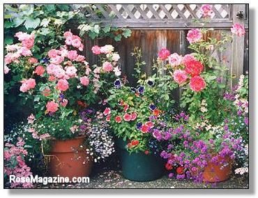 Growing Roses In Containers Great For People Like Me Who Prefer To Keep Their P Planting Roses Growing Roses Planting Roses Garden Yard Ideas